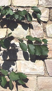 natural stone wall with trellis fruit