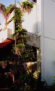 Densification of Wisteria-greening on the greened privacy wall at the bottom, by means of vertical wire ropes. Caution: The balcony deck as well as the powerful consoles for the front parapet of the balcony can be made of pre-stressed concrete here.