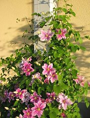 Posts with clematis-hybrid