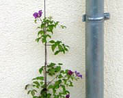 Greening at a drainpipe with Clematis
