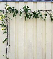 Wire trellis for Glyzine