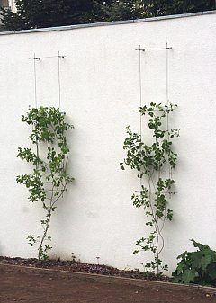 Wall trellis/espalier for roses