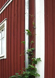 "Greening ""drainpipe"" with hops"