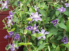 Bush clematis: pruning and wire rope trellis