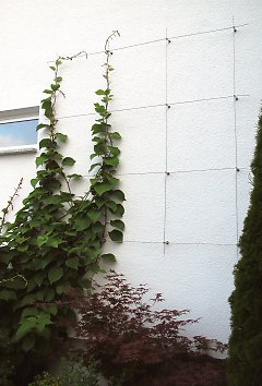Climbing plant support for kiwi (Actinidia)