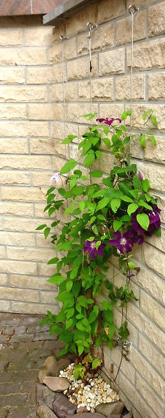 Climbing support cables for clematis