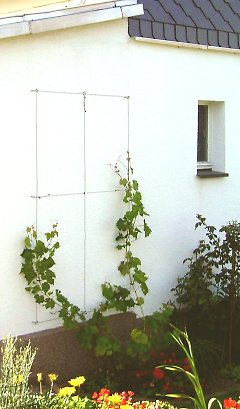 Wall trellis for vines