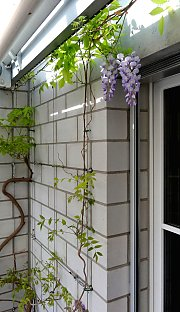 Calcium silicate brick with wisteria