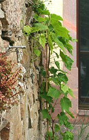 Wall greening with grapevine