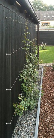Rose with trellis system