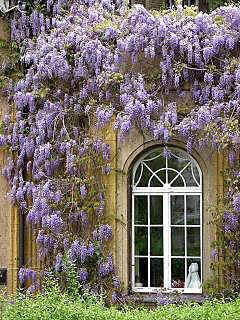 Exeptional explosion of wisteria flowers