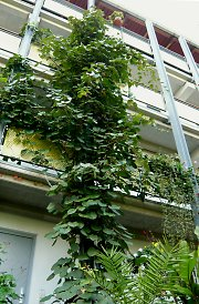 Balcony with Actinidia chinensis in Leipzig / Saxony