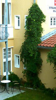 Drainpipe with Akebia, Greening in Bansin / Usedom / Mecklenburg-Hither Pomerania
