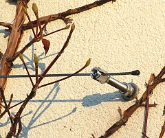 Pinning cable for Climbing Hydrangea winter picture