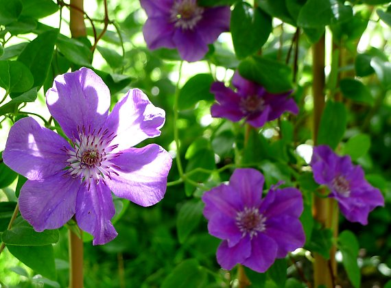 "Flowers of the clematis ""Ashva"""