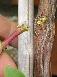 Pruning vine in spring