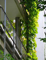 Balcony greening with Dutchman's pipe