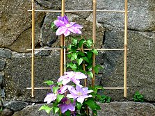 Bamboo trellises, here for Clematis