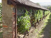Greening of an old 'talut wall' with grapevines, Radebeul / Saxony
