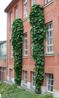 Façade greening with Aristolochia
