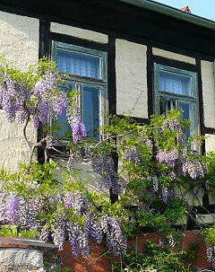 Wisteria on a timbered house