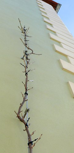Wisteria on a house façade after pruning