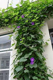 Not a densely foliaged AND flowering climbing plant in one, but grapevine and annual morning glory in combination