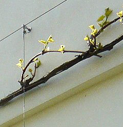 Circular pruning of grapevines
