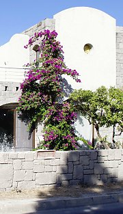 Bougainvillea in Bodrum / Turkey