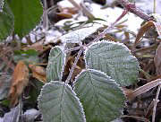 Blackberry with hoarfrost