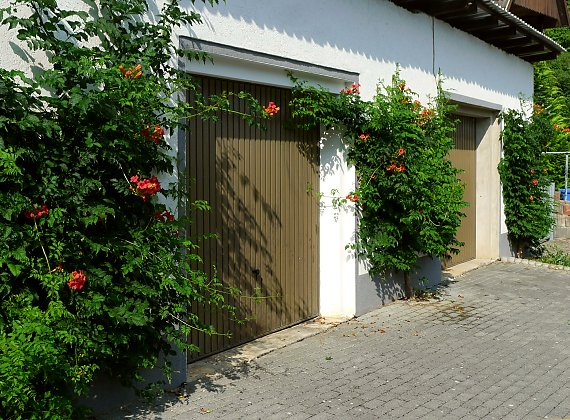 "Greening a garage with Campsis ""Stromboli"""