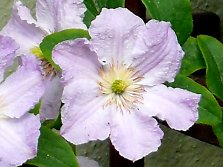 "Clematis hybrid ""Blue Angel"" from Poland"