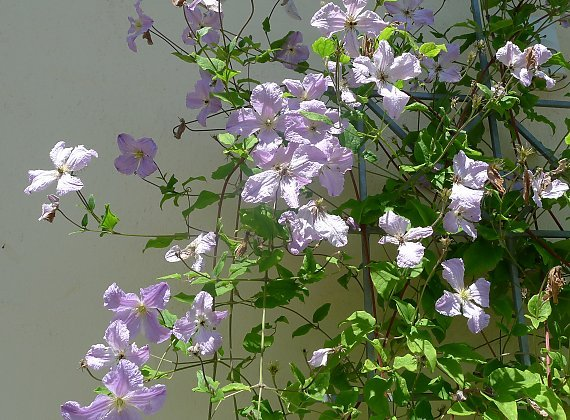 "Clematis ""Blue Angel"" on a trellis"