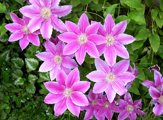 "Clematis ""Dr. Ruppel"""