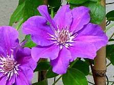 "Clematis hybrid ""Ashva"" from Lithuania"