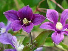 "Bush clematis ""Arabella"""