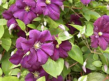 Small blossomed Clematis