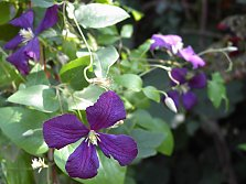 The clematis is a climber popular for its flowers. There are differences between the hardy native species, their selections and the hybrids with large flowers.