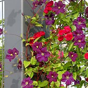 Clematis and roses on a freestanding climbing trellis