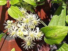 Blossoms of clematis vitalba