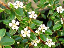 "Cotoneaster dammeri ""Skogholm"" - As groundcover or hanging plant"