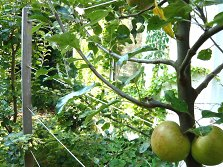 Apple espalier on a wire framework