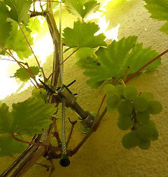 Wire rope system for grapevine