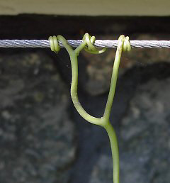 Wire rope with grapevine