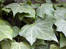 English ivy (Hedera) is very popular for its evergreen foliage and its ability to cover entire walls.