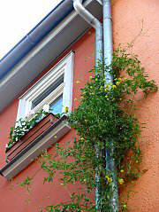 Greening a drainpipe with Clematis tangutica