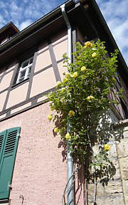 Drainpipe greening with Roses in Weimar/ Thuringia
