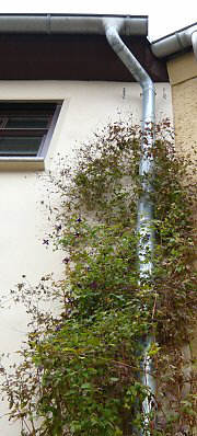 Greening of a drainpipe with Clematis viticella, 2 flanking wire-cable supports