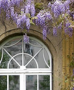 Blooming Wisteria as a facade garden