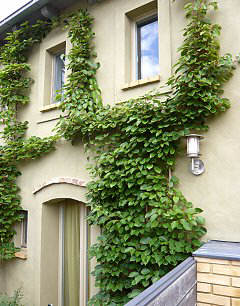 Facade greening with hardy kiwi on a wire rope trellis